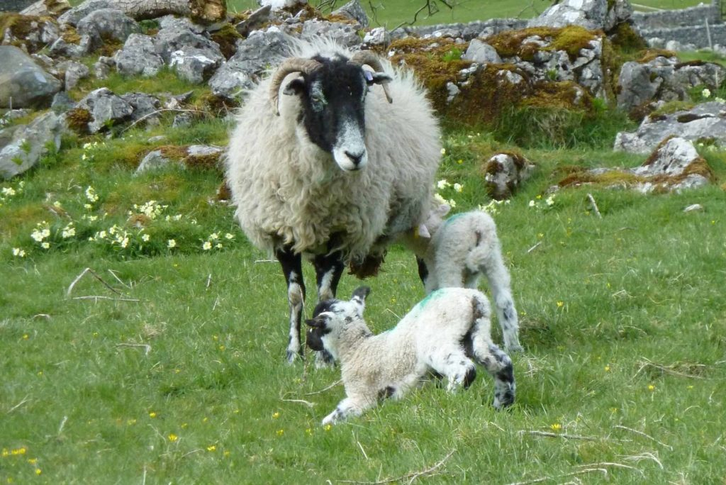 Lambs and Primroses