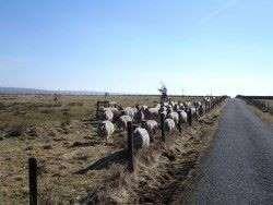 Sheep in March sunshine